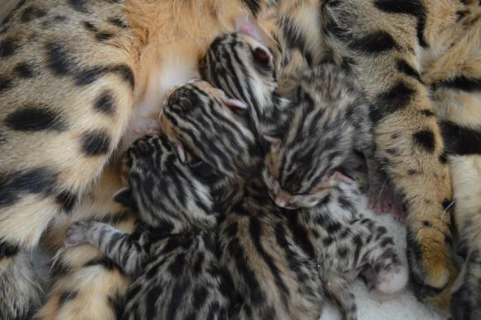 We are waiting kittens! Belinda & Adonis I, kittens waited mid-february 2017