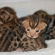 bengal kittens 2 weeks old