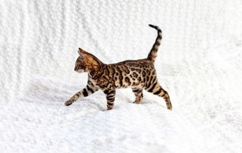 Bengal Female available Brockenmoor AMBER DOB 26-12-2018
