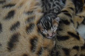 bengal kittens small