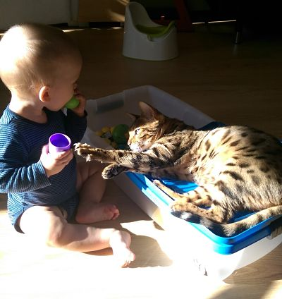 Bengal cat play with baby