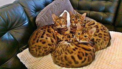 Bengal cat trio