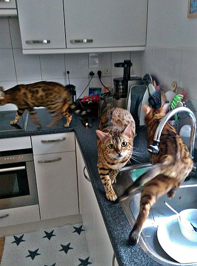 Bengal cats in the kitchen