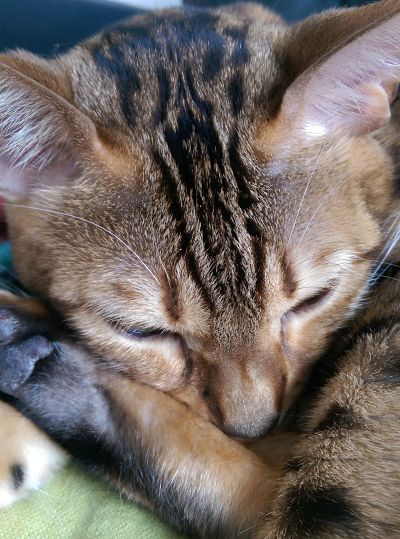 Bengal cat sleeping