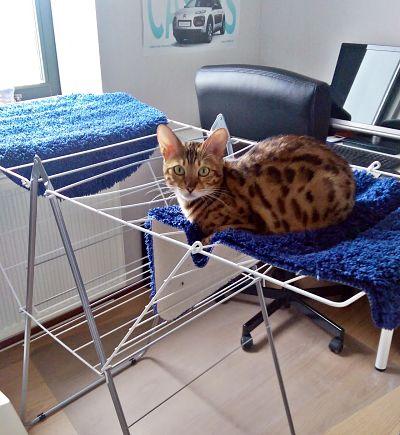 Bengal sleeping on the laundry rack