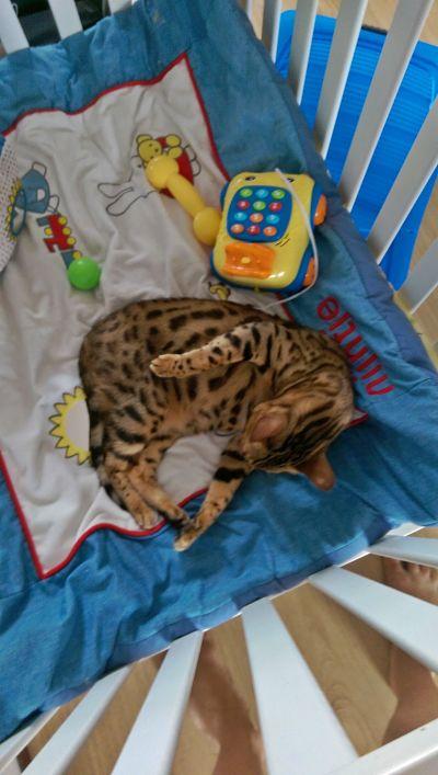 Bengal cat sleeping in baby bed0711-WA0001_opt