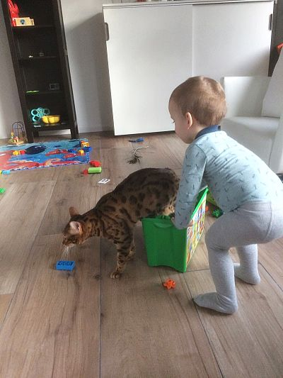 Bengal cat playing with a baby