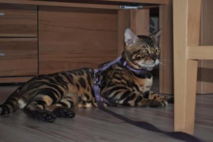 Bengaal - Kitten te koop arnhem