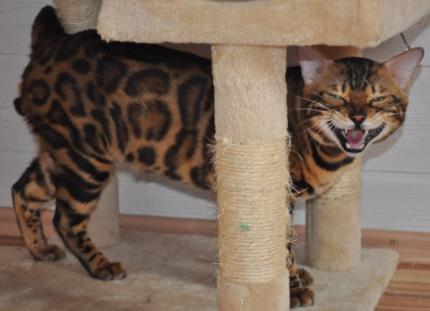 Bengaal Kitten
