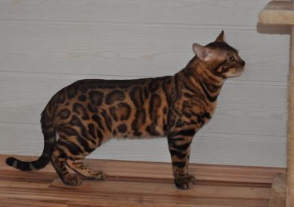 Bengaal Kitten nijmegen