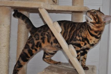 Bengaal - Kitten te koop elst gld