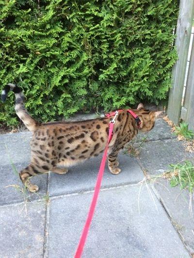 Bengal cat walks in the garden