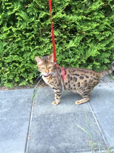 bengal kitten on a walk