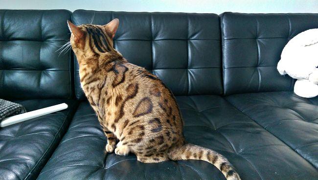 Bengal cat nokia minibengals.se