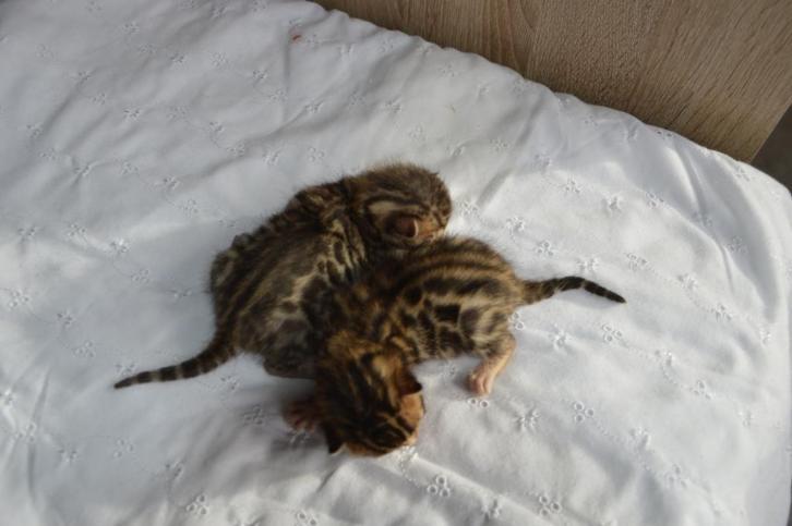 bengaalse kittens te koop