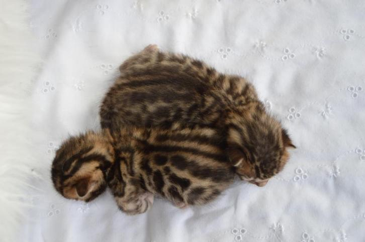 kittens bengal