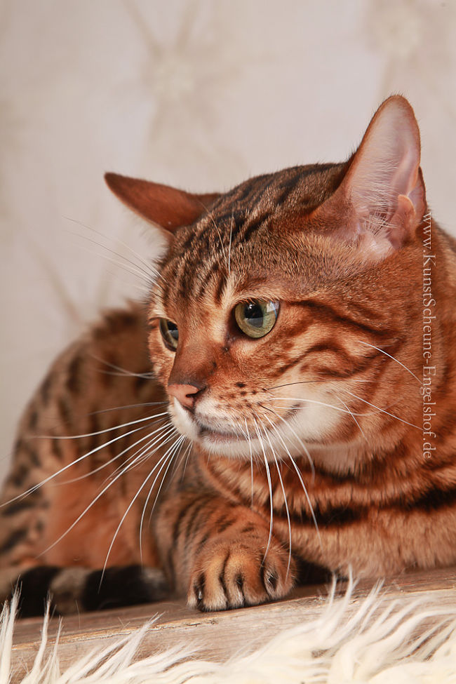 Bengal cat profile