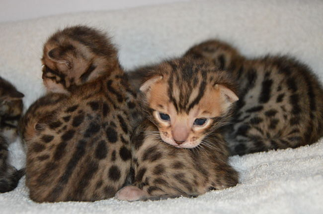 bengal kittens 2 weeks old