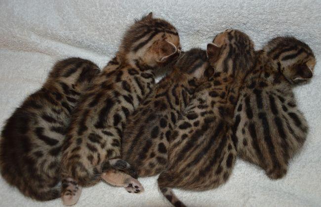Belindas kittens
